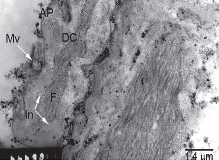 Figure 19: TEM of tegument of 3-day-old larval stage showing distal cytoplasm (DC) with corrugated apical plasma membrane (AP) forming microvillus-like extensions (Mv) (arrow), enclosed fi brillar elements (F) and inclusion bodies (In) (arrows) and covered with electron dense material.